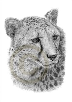 African Cheetah pencil drawing print - A4 size - artwork signed by artist Gary Tymon - Ltd Ed 50 prints only - pencil portrait