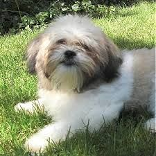 Image result for shichon