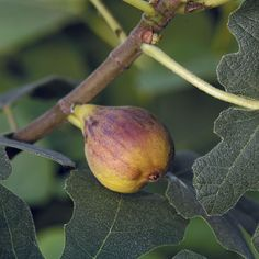 Fig 'Chicago Hardy' (Ficus carica) This edible fig can take subfreezing temperatures, dying back in the fall and resprouting in the spring. The medium-sized fruit ripens to a delicious, sweetness in late summer and early fall. For northern growers, give it a heavy mulch with hay or leaves when dormant.