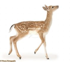 Photograph of Fallow Deer (Dama dama) fawn. Rights managed white background image. Forest Animals, Nature Animals, Woodland Animals, Animals And Pets, Cute Animals, Deer Photos, Deer Pictures, Cute Animal Pictures, Animal Paintings