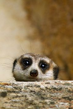 Awww… a shy meerkat. Titan is a meerkat! Nature Animals, Animals And Pets, Baby Animals, Funny Animals, Cute Animals, Wild Animals, Cute Creatures, Beautiful Creatures, Animals Beautiful