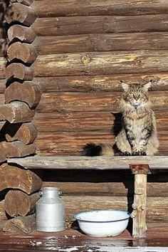 Kissoilla on kevättä rinnassa Cottage Living, Cats, Gatos, Kitty, Cat
