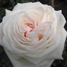 white ohara garden rose hint of blush in center all year