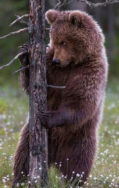 This grizzly seems a bit shady. Baby Panda Bears, Bear Cubs, Baby Pandas, Tiger Cubs, Tiger Tiger, Bengal Tiger, Bear Pictures, Animal Pictures, Nature Animals