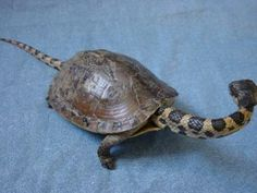 weird taxidermy | Weird taxidermy - snake turtle