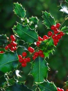 Ostrokrzew kolczasty o zielonych liściach, fot. www.sxc.hu