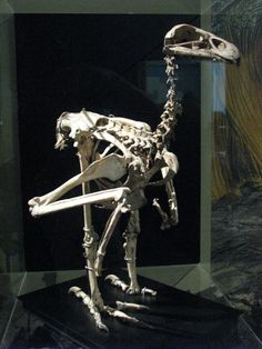 Skeleton of Haast's Eagle