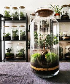 Moss terrarium with ficus bonsai Terrarium Diy, Bottle Terrarium, Small Terrarium, Bottle Garden, Terrarium Wedding, Mini Bonsai, Indoor Bonsai, Indoor Garden, Indoor Plants