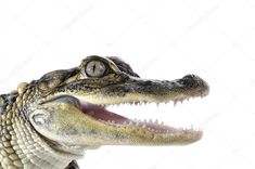 Photo about Close-up of young American Alligator on white background. Image of looking, american, space - 27194261 Young Americans, Head Tattoos, Bead Art, Birds In Flight, Close Up, Stock Photos, Image, Mural Ideas, Anime Artwork