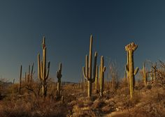 Tucson....Cristate saguaro