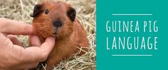 Do you know what your guinea pig is trying to tell you? Click here to find out...