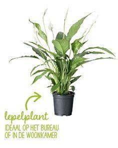 Luchtzuiverende planten voor schone lucht in huis – Intratuin