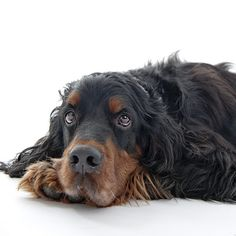 Our lovely Gordon Setter