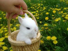 Cute Bunny in a Basket spring easter rabbit basket bunny cute animals Cute Baby Bunnies, Baby Animals Super Cute, Cute Little Animals, Cute Funny Animals, Cute Babies, Cute Bunny Pictures, Cute Animal Pictures, Dwarf Bunnies For Sale, Fluffy Animals
