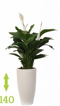Lepelplant - er een mooie hoge pot voor gebruiken, mooi met pot in wit, maar chroom is misschien ook mooi