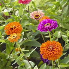 Get inspired by zinnias! Find out how to get easy color anywhere with this beautiful annual!