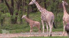Baby giraffe debuts at Bronx Zoo