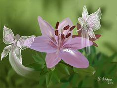 růžová lilie.jpg (2057×1544)