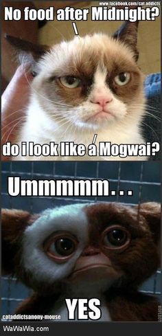 No food after midnight? Do I look like a Mogwai? - Gizmo from the Gremlins/Grumpy Cat Grumpy Cat Quotes, Funny Grumpy Cat Memes, Wtf Funny, Funny Cats, Funny Animals, Cute Animals, Hilarious, Grumpy Cats, Animal Funnies