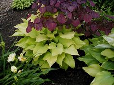 Hosta 'sun power', gold leaf, deciduous, 2'x4', full sun, light or open shade, regular watering. Some slug resistance