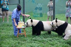 Sea parte de la celebración del cumpleaños feliz de los pandas gigantes en China. Visite nuestra página y sea parte de nuestra conversación: http://www.namnewsnetwork.org/v3/spanish/index.php