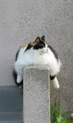 le gros chat