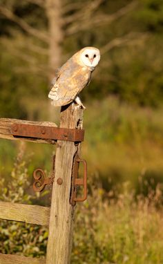 500px / Barn owl at sunset by steven whitehead