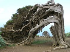 Centuries old juniper tree moulded by trade-wind on Hierro - El Hierro;  El Sabinar; Juniperus phoenicea; Jeneverbes; Juniper Tree by jwsteffelaar, via Flickr -