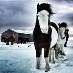 Caballos #Islandia #Iceland