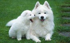 Samoyed Husky