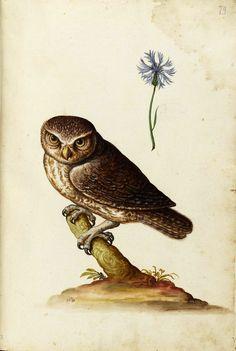 Ulisse Aldrovandi, Specimen of nature, tavole 004, Unico. Watercolor. University of Bologna. Owl / Eule; Kornblume