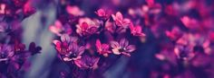 Facebook Timeline Cover  Flowers - Violet Purple
