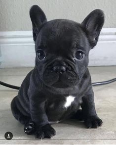All About The Adaptable French Bulldog Pups Size - Pug Puppies Cute Dogs And Puppies, Baby Dogs, Doggies, Cute Bulldog Puppies, Terrier Puppies, Corgi Puppies, Bull Terriers, Beagle, Boston Terrier