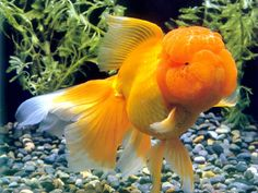 http://www.coolanimalworld.com/gallery/var/albums/Gorgeous-goldfish-wallpapers-1024x768/Gorgeous%20goldfish%20wallpapers%201024x768%20(06).jpg