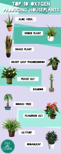 SoulFlower Top 10 Oxygen Producing Houseplants | Soul Flower Blog
