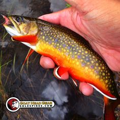 Fiery red spawning brook trout from the Utah high country. #solespikes #actiontraction