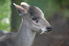 ¿Un ciervo con colmillos? El eláfodo El ciervo de copete o eláfodo (Elaphodus cephalophus) es un ciervo cuyo aspecto más reseñable son los grandes colmillos, o dientes de sable, que tienen los machos. Pueden alcanzar los 2,6 centímetros de largo.