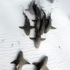Mano are friends, not foes. || #mano #shark