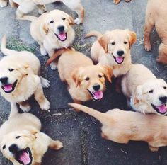 Golden Retriever Puppies galore!