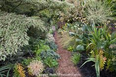 Mulched path through foliage garden mixed borders with Variegated Pagoda Dogwood tree (Cornus alternifolia) in plant tapestry, O'Byrne plant collector garden, Oregon