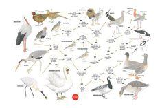 Zoekkaart Weidevogels Animal Plates, Flora And Fauna, Bird Watching, Rooster, Wildlife, Birds, School, Animals, Outdoor