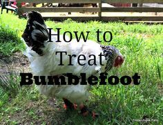 Bumblefoot infections in chicken's feet happen when a wound is exposed to Staphylococcus bacteria in the environment. Treating it requires routine cleaning