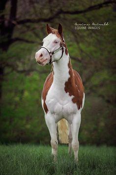Gunners Revolution × American Paint Horse × Splash White × Hengststation Steinsberg