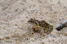 Common frog at loch Morar
