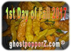 #FirstDayofFall, with Yellow Ghost Peppers  www.ghostpepperZ.com  #fall #fall2017 #freshfromflorida #ghostpepperZ