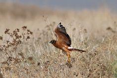 Montagu's Harrier, juvenile Park Around, Buzzard, Kestrel, Natural Park, Cadiz, Kites, Birds Of Prey, Falcons, Hawks
