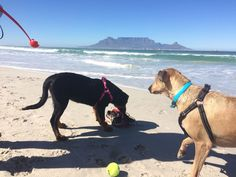 Aspatat (Rottie puppy) and Harvey on Milnerton beach, Cape Town.