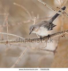 Northern Mockingbird Mimus Polyglottos Perched On A Tree Branch