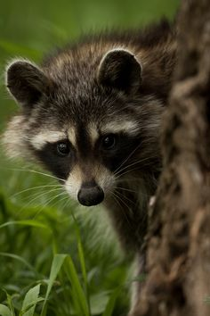 Wild Racoons are usually difficult to approach in Fontenelle Forest, especially in the daytime. I used a long telephoto lens to make this closeup portrait while at a safe distance.
