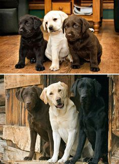 Lab Puppies But I would have 4 and add either a white or silver lab ♡ - A particularly versatile and intelligent dog breed, it is no surprise that the Labrador Retriever is one of America's most beloved pets. Find out why. Animals And Pets, Baby Animals, Funny Animals, Cute Animals, Cute Puppies, Cute Dogs, Dogs And Puppies, Black Lab Puppies, Silver Lab Puppies